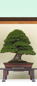 Photo of a Bonsai Tree